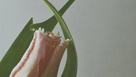 Tulip 570px 10f3