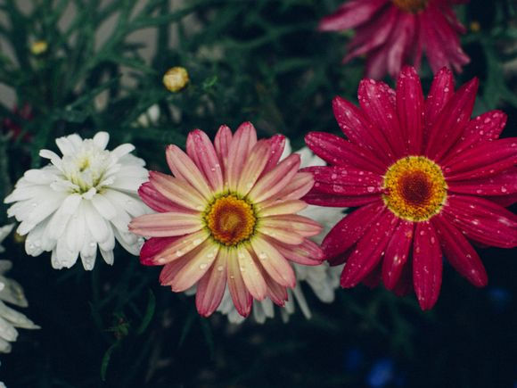 Border daisies